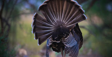 A word or two on turkey call apps, baiting birds, and roost shooting.