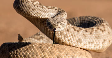 A Texas toddler received 28 vials of antivenin to counteract a rattlesnake bite. Image by Susan M Snyder / Shutterstock