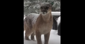 Watch: British Woman Gets Up-Close Video of Mountain Lion Outside Boulder Home