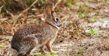 A new age has dawned in the world of rabbit hunting. (© Bok David-Shutterstock photo)