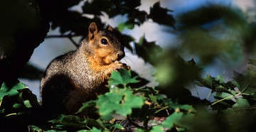 Have you ever hunted fox squirrels? (© Images On The Wildside photo)