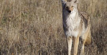Do you coyote hunters make these mistakes? (©Tom Reichner-Shutterstock photo)
