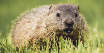 How to Hunt Groundhogs