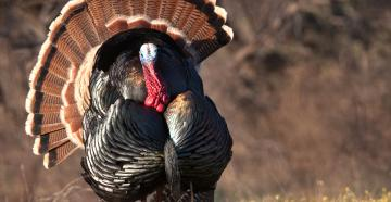 Do you plan for your turkey hunts this way? (© Russell Graves photo)
