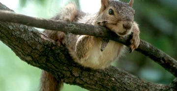 Squirrel Hunting Myths and Facts (c) Photo by Julia C. Johnson