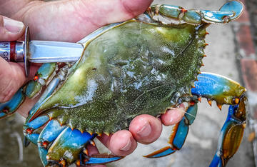 Cleaning blue crabs is quick and easy when you use this method.