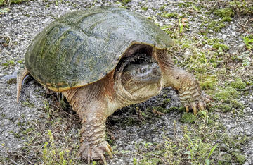 This is the best method I have found from turning a snapping turtle from looking like this to recipe ready.