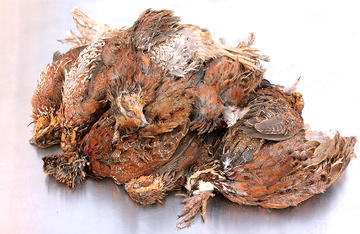 Make the most of your hard earned birds. It only takes about two minutes to pluck and clean a quail.