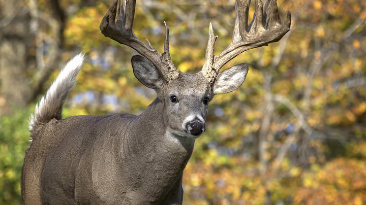 Deer Hunting in Maryland Preview Image