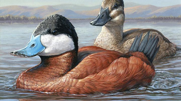 Duck Stamp Act Passes Senate Preview Image
