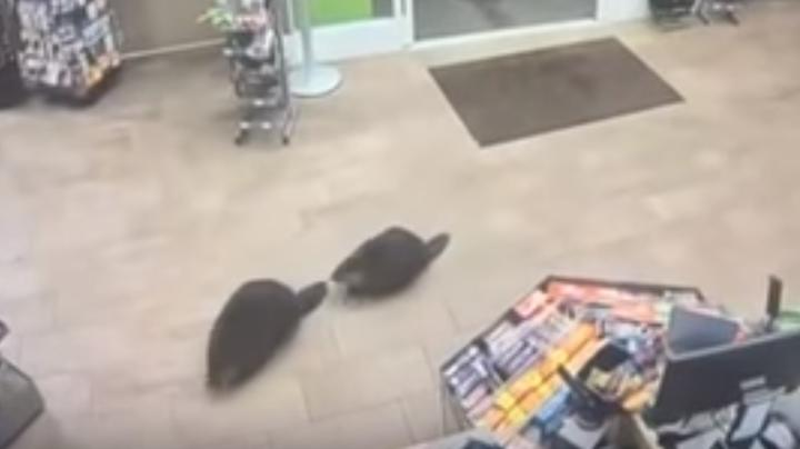 Watch Pair of Beavers Walk Into Store Preview Image