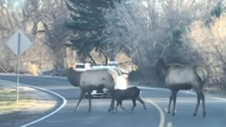 Domestic Goat Joins Elk Herd Preview Image
