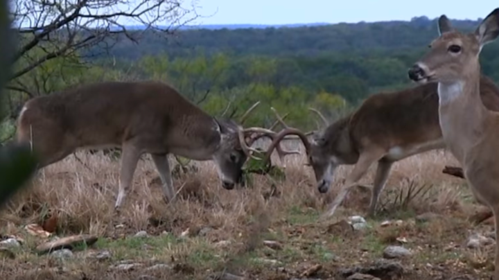 Huge Whitetail Bucks Fight at 10 Yards Preview Image