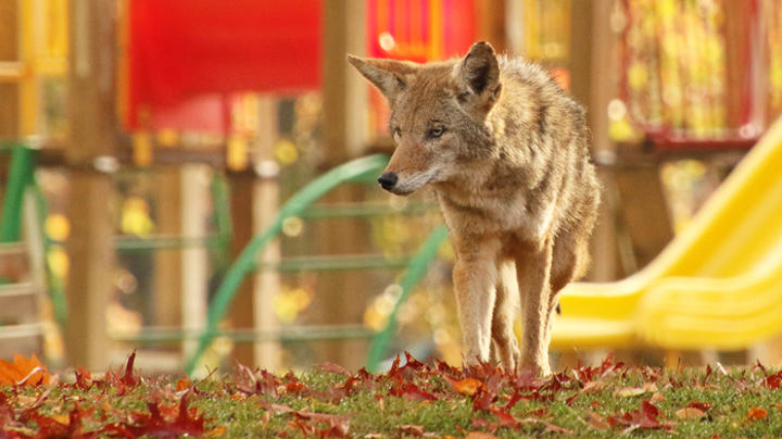 Young Child Barely Escapes Coyote Attack Preview Image