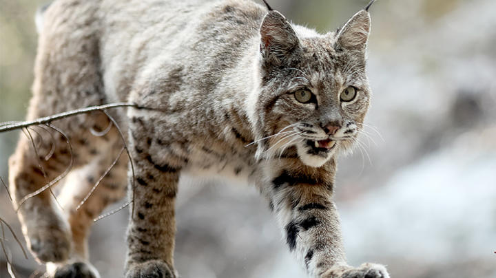 Connecticut Golfer Recounts Bobcat Attack Preview Image