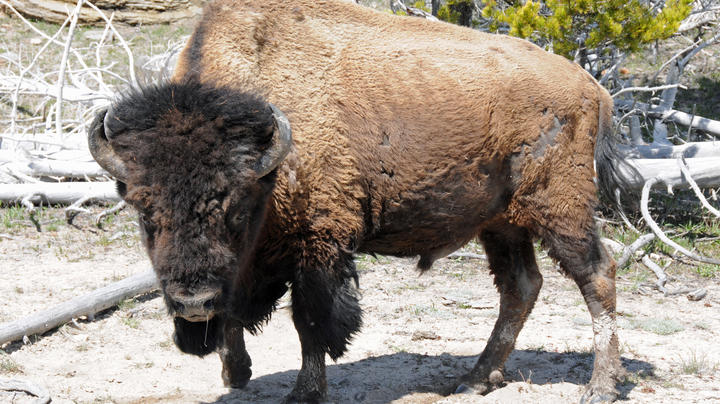 Bison Gores Teen at North Dakota National Park Preview Image