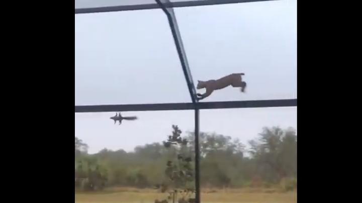 Watch Bobcat Chase Squirrel Across Top of Screened-in Patio Preview Image