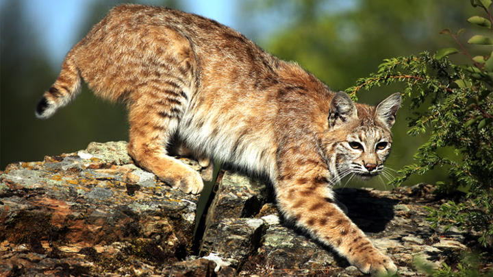 5 People Attacked by Bobcat at Arizona Campsite Preview Image