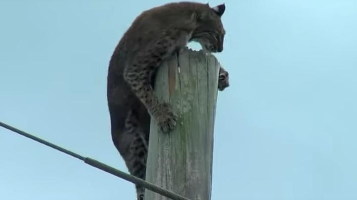 Bobcat Stuck on Top of Power Pole Finally Comes Down Preview Image