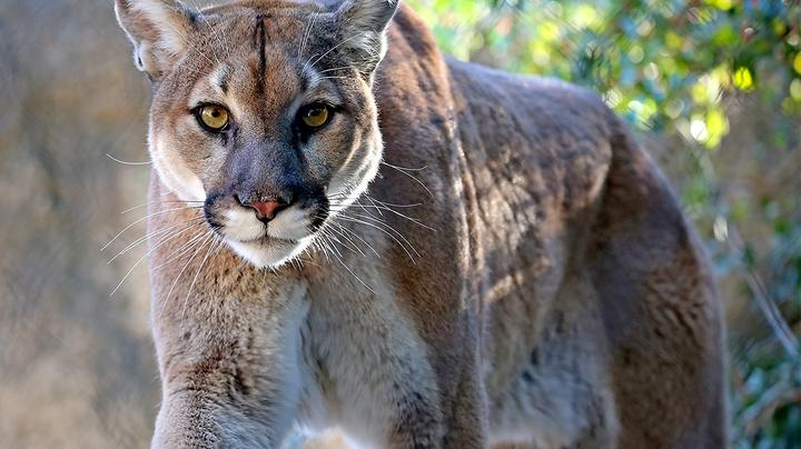 Colorado Father Saves Son from Mountain Lion Attack Preview Image