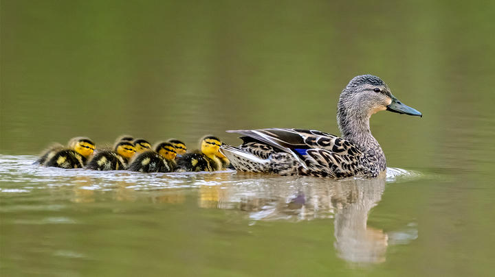 Breeding Ducks Down Slightly, but Overall Populations Good Preview Image