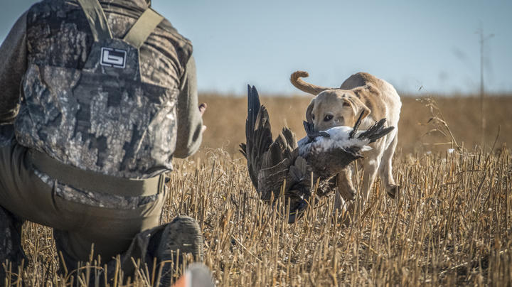 10 Tips for Early Goose Season Preview Image