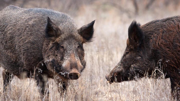 Texas Woman Killed by Feral Hogs Preview Image