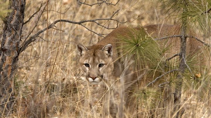 Mom Pries Mountain Lion's Mouth Open to Save Son Preview Image