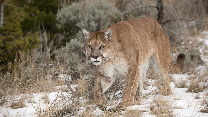 Colorado Woman Films Mountain Lion Attacking Mule Deer Buck Preview Image