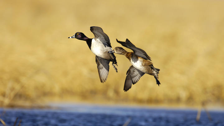 Delta Waterfowl Ringnecks in Full Spring Migration Mode Preview Image