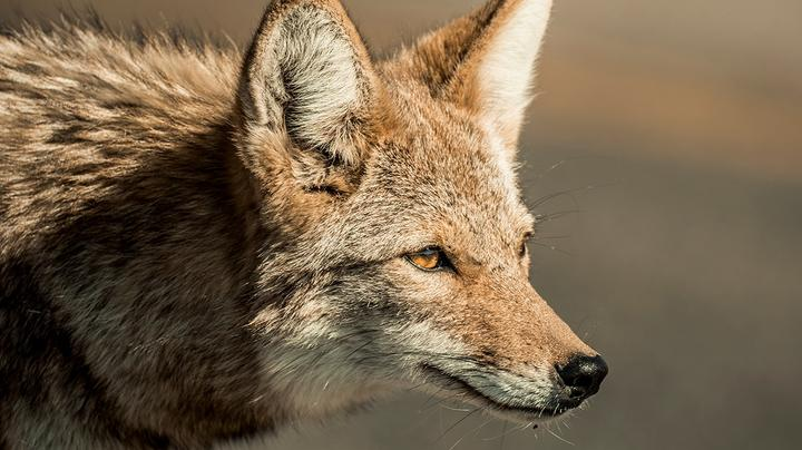 New Jersey Mother Fights Coyote With Ball Bat Preview Image