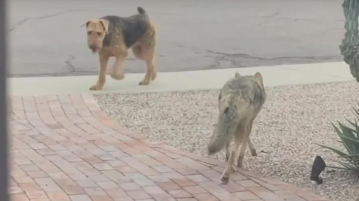 Watch Dog Play With Wild Coyote Preview Image