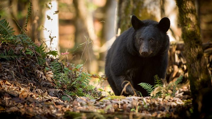 Man Eaten by Smoky Mountain Black Bear Died of Meth Overdose Preview Image
