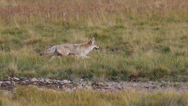 Wildlife Services to Examine Predator Management Methods in Wyoming Preview Image