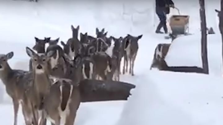 Michigan Couple Feeds Hundreds of Deer in Their Backyard Preview Image