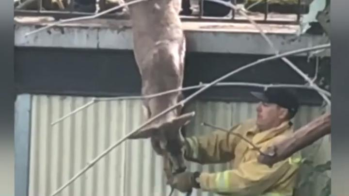 Watch Firemen Rescue Deer Hanging From Wall Preview Image