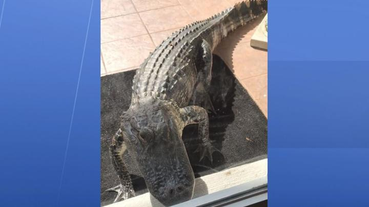 Alligator Attempts Home Invasion Preview Image