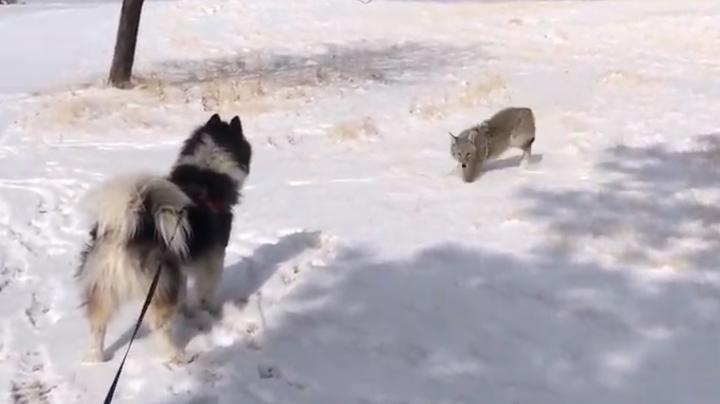 Watch Husky Play with Coyote Preview Image