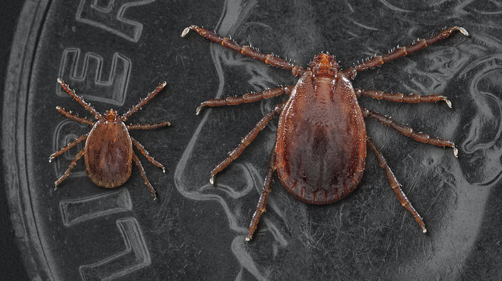 Parasitic Nightmare: Asian Longhorned Ticks Spreading in U.S.  Preview Image