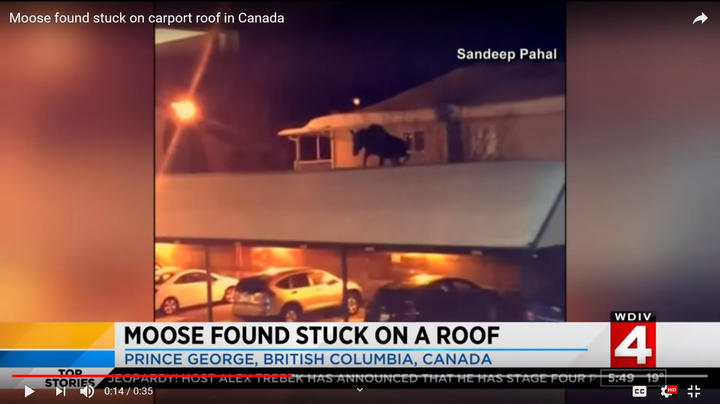 Man Discovers Moose on His Roof Preview Image
