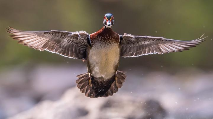 Wood Ducks: Our All-American Waterfowl Preview Image