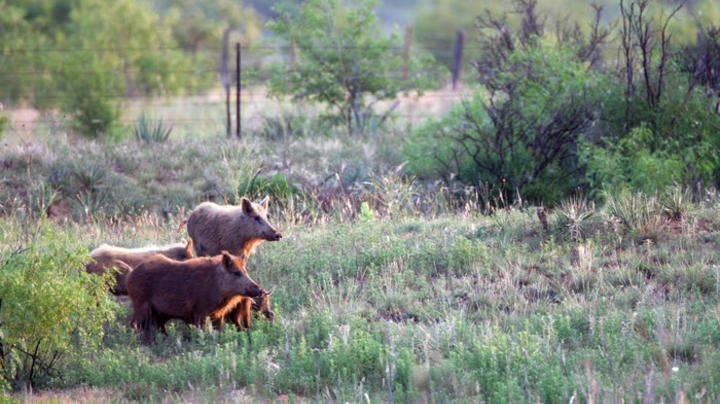 USDA Announces Grants for Wild Pig Control Preview Image