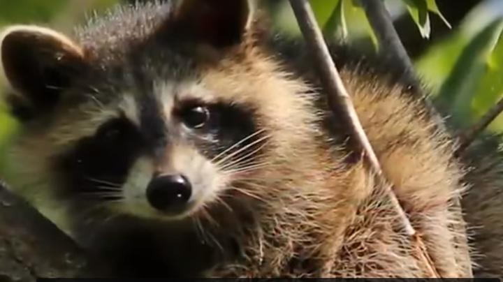 Pet Raccoon Bites Off Tip of Toddler's Finger Preview Image
