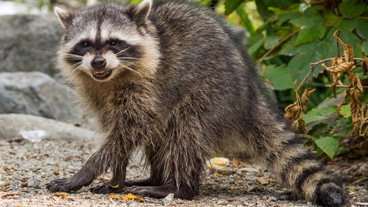 Boy Pets Rabid Raccoon, Gets Bitten Preview Image