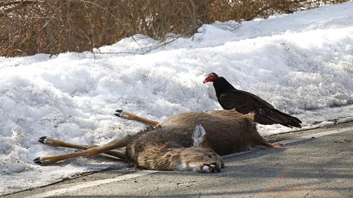 2019 Whitetail Report: New Deer-Related Automobile Accident Trends Preview Image