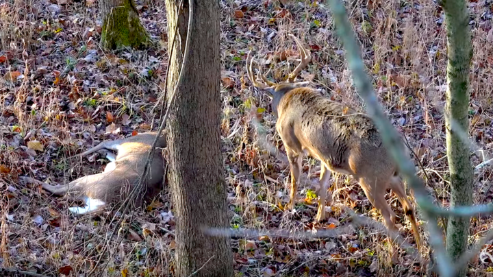 Buck Attacks Deer After Hunter Kills It Preview Image