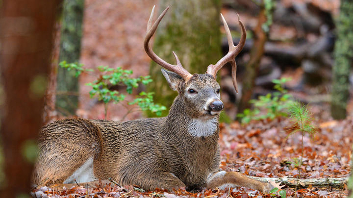 Off-Season Scouting: Look for Target Buck Beds During the Off-Season Preview Image