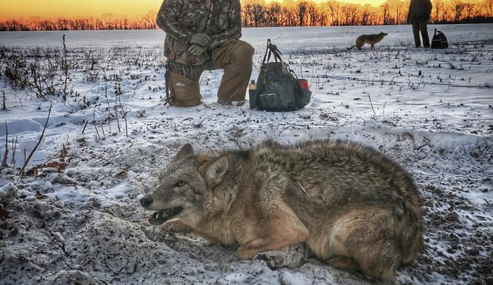 Predator Control and Why It Matters for the Future of Deer Hunting Preview Image