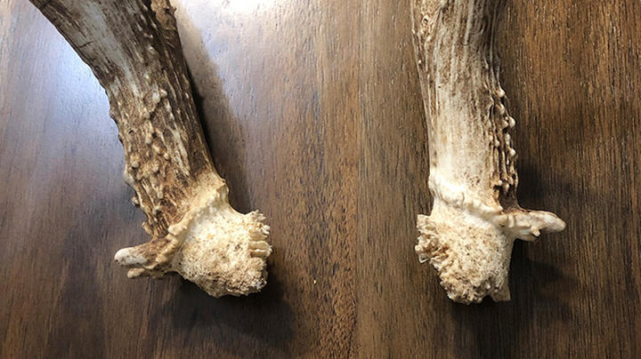 How Abnormal Shedding Can Influence Antler Growth Preview Image