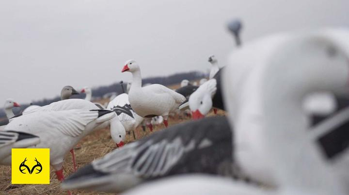 The X: Tough Snow Goose Season — Lack of Young Geese? Preview Image